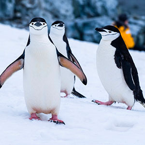 Chinstrap Penguins - Cute but watch out