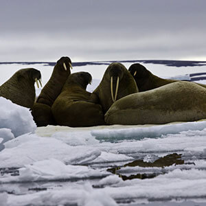 10 things you didn't know about one of the Arctic's favourite animals